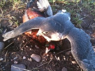 Falcon Hunting