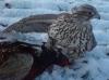 Silver Jerkin on Cock Pheasant