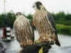 Cast of Peregrine X Barbary Tiercels