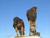 Two Harris Hawks