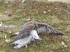 Gyr X Saker on Herring Gull