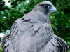 Female Black Gyr