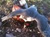 Peregrine X Barbary on Pheasant