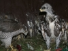 Goshawk rearing young Steppe Eagle