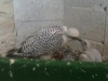 White Gyr Feeding Chick