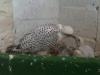 White Gyr Feeding Chick