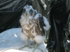 Scottish Peregrine Falcon Imprinting