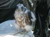 Scottish Peregrine Falcon Imprinting