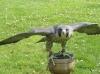 Scottish Peregrine Tiercel