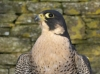 Scottish Peregrine Tiercel